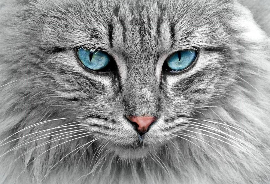 Persian Cats - 10 Stunning facts. www.petspalo.com
