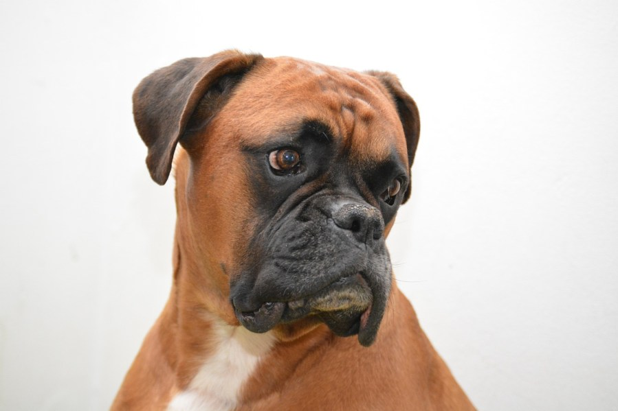 Boxer Dog Breed - Complete Profile, History, and Care. https://www.petspalo.com