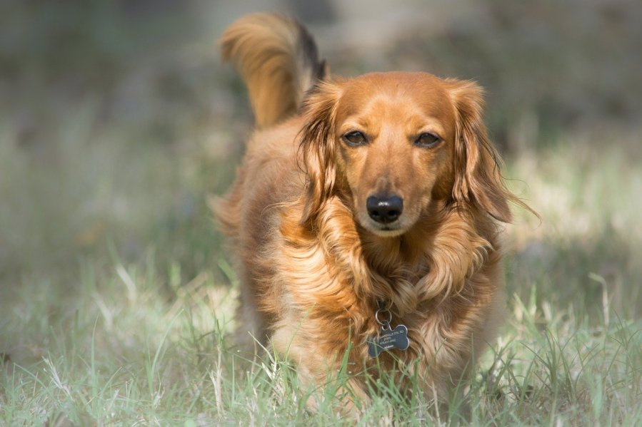 Dachshund Dog Breed - Complete Profile, History, and Care. https://www.petspalo.com