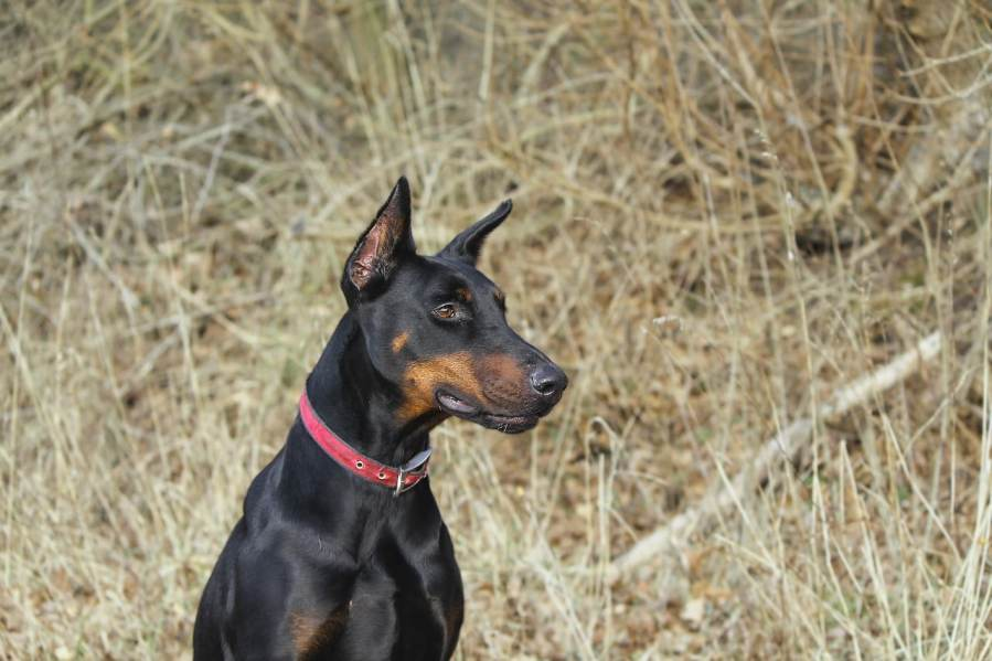 Doberman - Complete Profile, History, and Care. https://www.petspalo.com