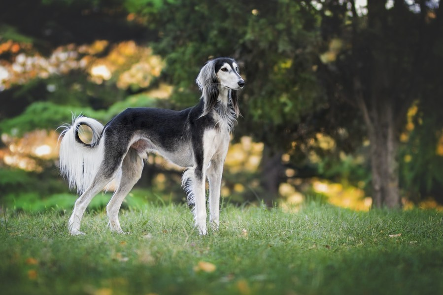 Greyhounds - Complete Profile, History, and Care. https://www.petspalo.com