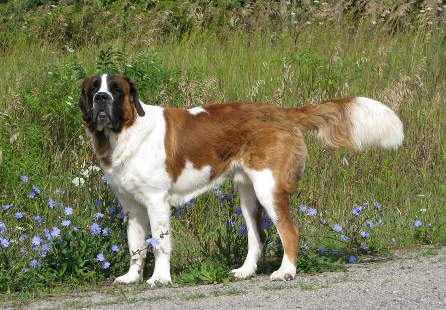 Saint Bernard Dog Breed - Complete Profile, History, and Care. https://www.petspalo.com