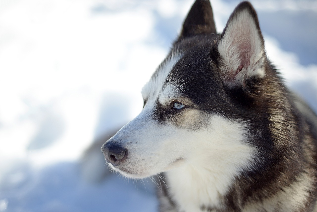Siberian Husky Dog Breeds - Complete Profile, History, and Care. https://www.petspalo.com