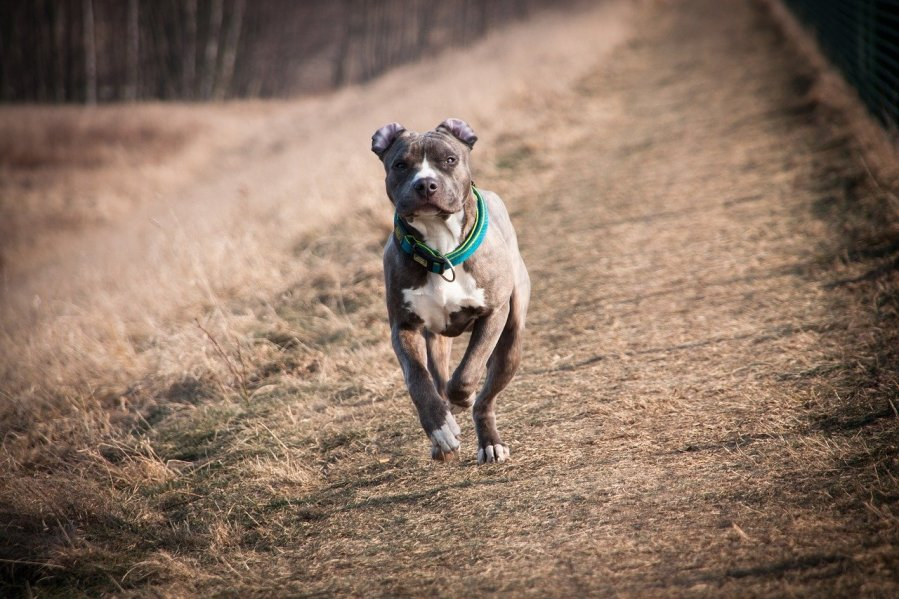 American Staffordshire Terrier Dog Breed - Complete Profile, History, and Care Complete Profile, History, and Care. https://www.petspalo.com