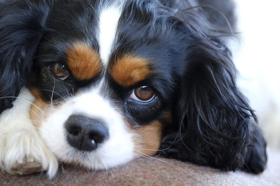 Cavalier King Charles Spaniel - Complete Profile, History, and Care. https://www.petspalo.com