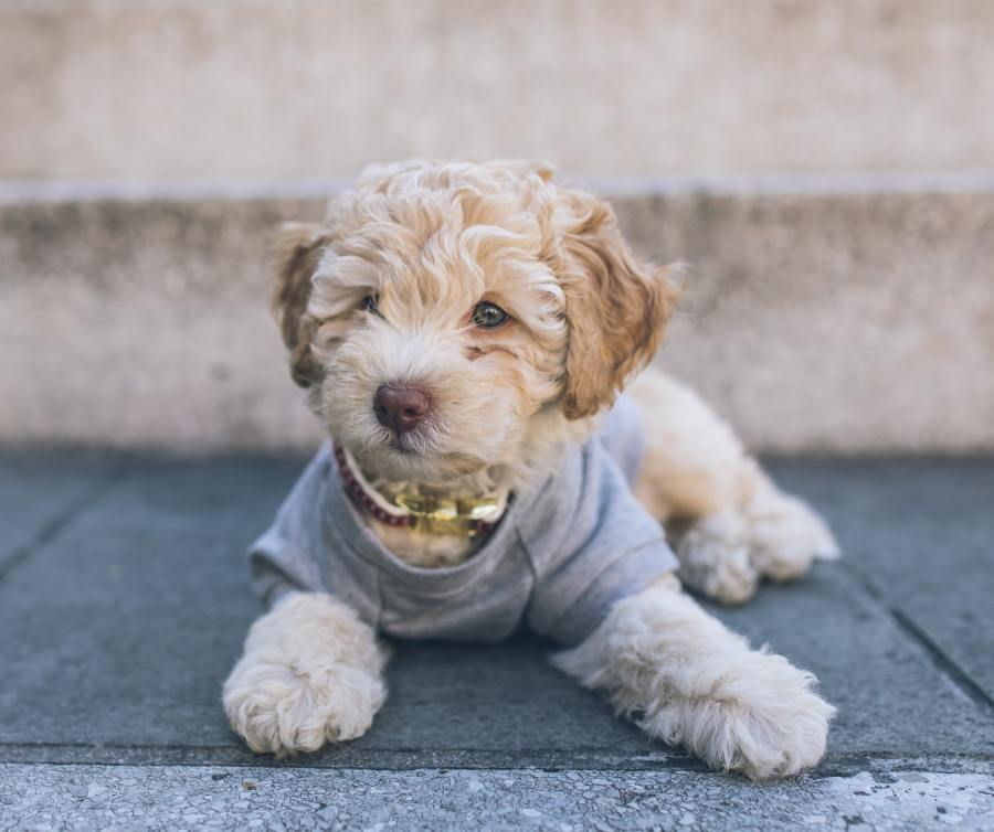 Cockapoo Dog Breed - Complete Profile, History, and Care. https://www.petspalo.com