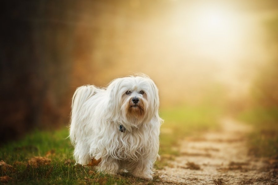 Havanese Dog Breed - Complete Profile, History, and Care. https://www.petspalo.com