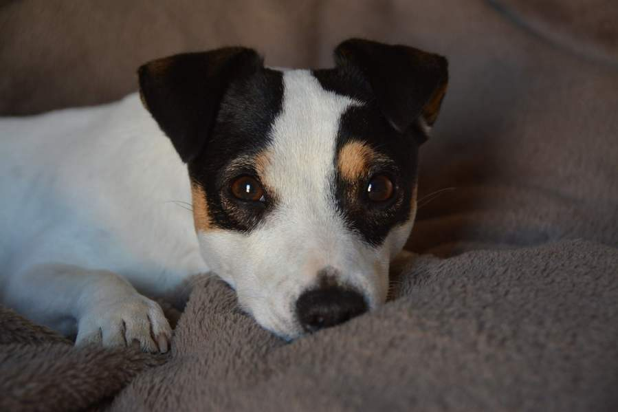 Jack Russell Terrier - Complete Profile, History, and Care. https://www.petspalo.com