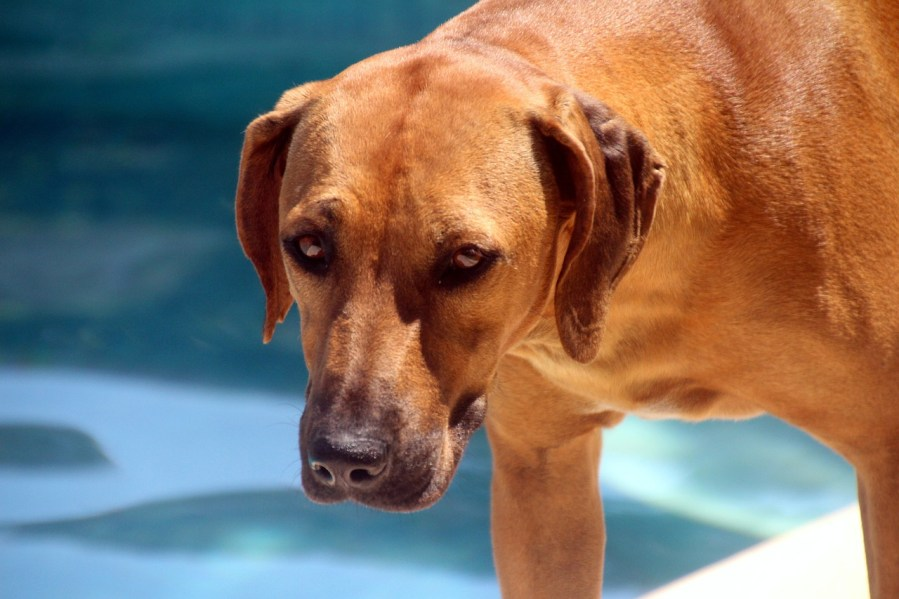 Rhodesian Ridgeback Dog Breed - Complete Profile, History, and Care. https://www.petspalo.com