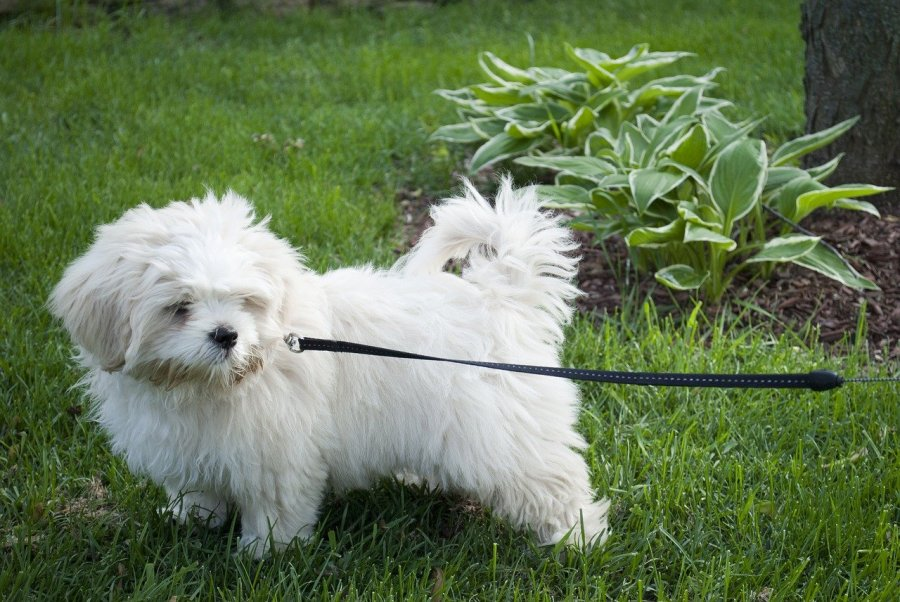Lhasa Apso Dog Breed - Complete Profile, History, and Care. https://www.petspalo.com