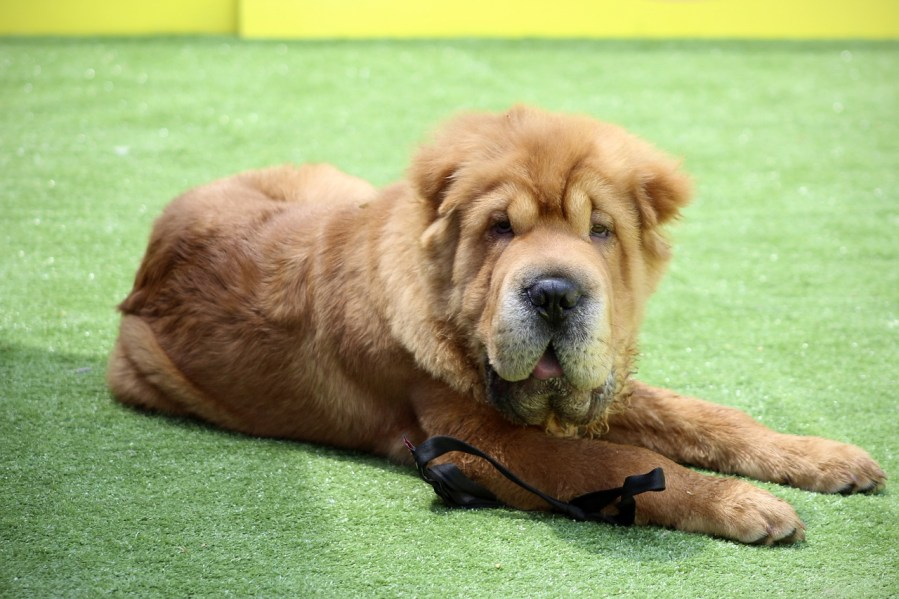 Shar Pei Dog Breed - Complete Profile, History, and Care. https://www.petspalo.com