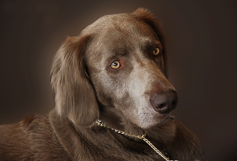 Weimaraner Dog Breed - Complete Profile, History, and Care- Complete Profile, History, and Care. https://www.petspalo.com
