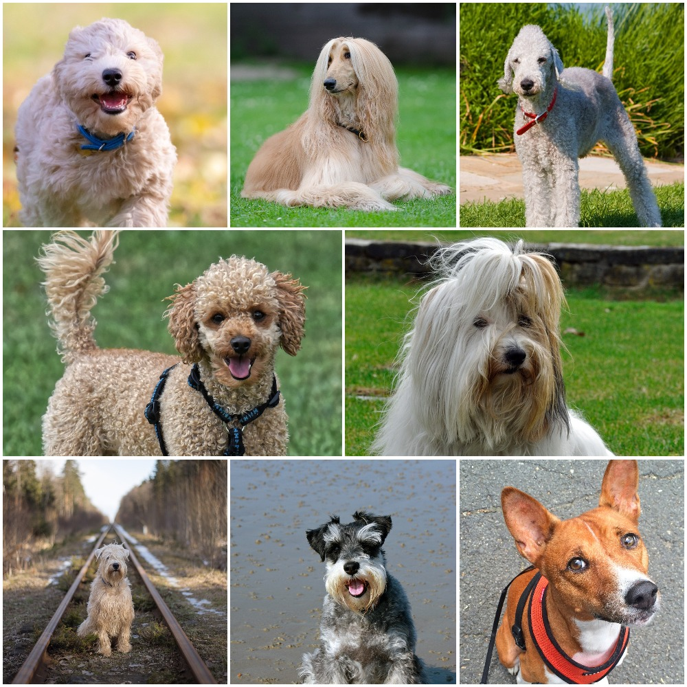 10 Adorable Hypoallergenic Dogs That Don't Shed. https://www.petspalo.com/