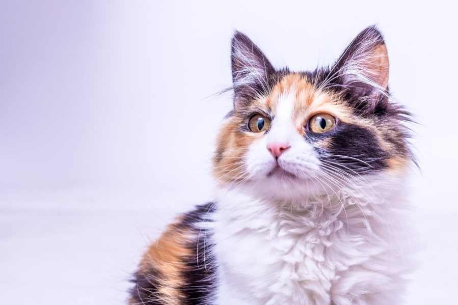 Calico Cat Breed – Complete Profile, History, and Care. https://www.petspalo.com/