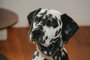 Dalmatian Dog Breed - Complete Profile, History, and Care. https://www.petspalo.com/