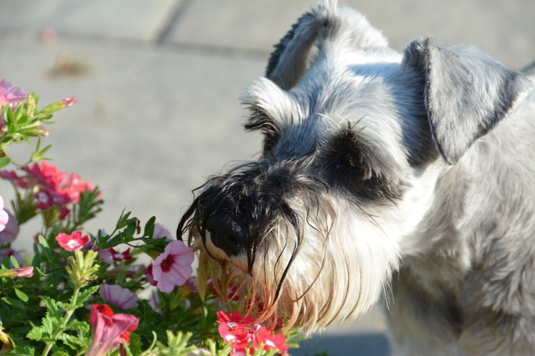 Miniature Schnauzer Dog Breed - Complete Profile, History, and Care. https://www.petspalo.com