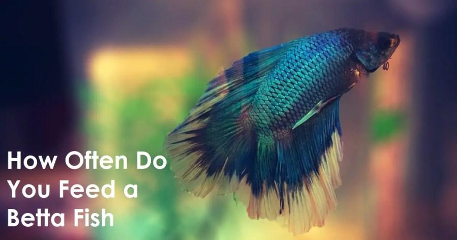 How Often Do You Feed a Betta Fish