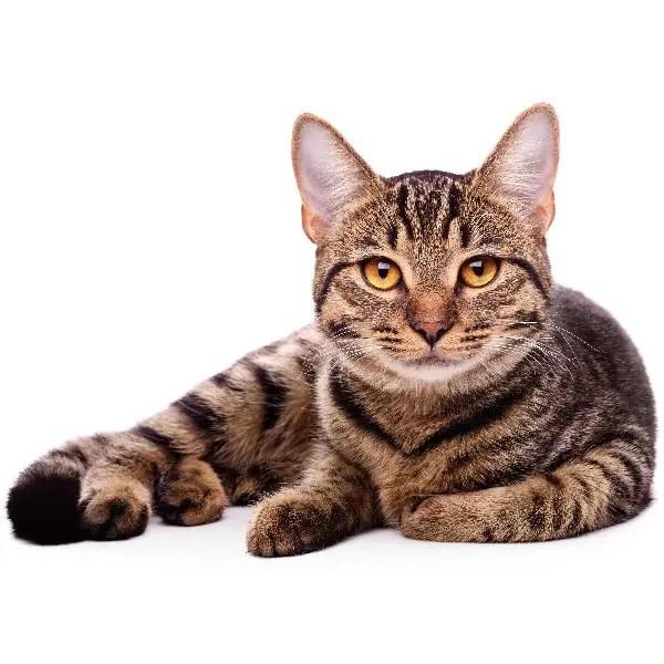 Cat Category