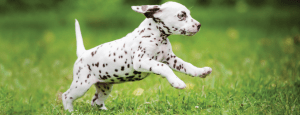 It is important to note that striking a balance with the exercise regimen is important. According to U.K Kennel Club over-exercising your puppy can cause it harm by damaging its joints that are still in the developing phase and this risks the pup to suffer from early arthritis. Image-www.pet.co.nz/