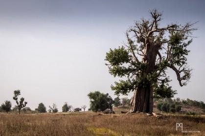 Le grand baobab trône au milieu des champs de coton et de sorgho; c'est là que qu'une famille a choisi de bâtir une petite maison en bois. // Kandi - 2015