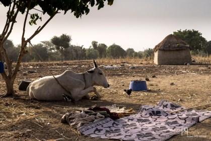 """Les troupeaux étant partis en transhumance vers le Togo voisin, seuls restent au village les animaux trop vieux ou malades. Bien que peu sédentarisées, de plus en plus de familles choisissent de vivre en périphérie des villes et de bâtir """"en dur""""."""