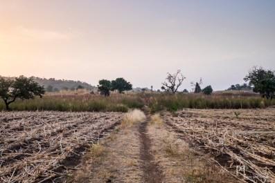 Les champs de sorgho ont été moissonnés il y a peu. Au loin trône un vieux baobab dégarni...