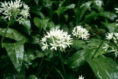 Wild Garlic in flower ((c) 2010 Ken Fern, Plants For A Future)