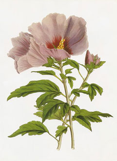 Hibiscus syriacus Rose Of Sharon