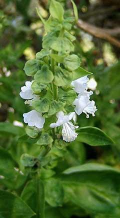 Image result for ocimum basilicum