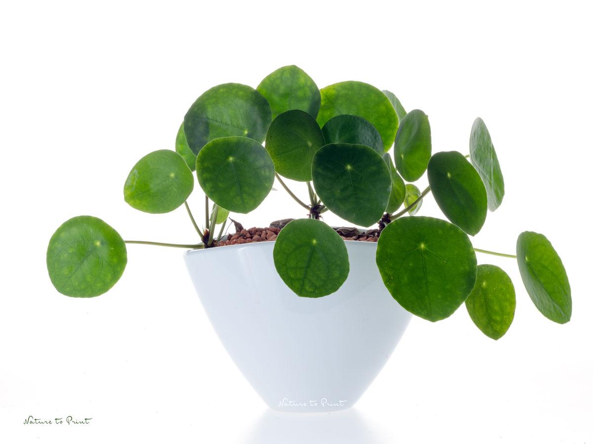 Die Ufopflanze. Großes Zimmerpflanzen-Glück zum Teilen.