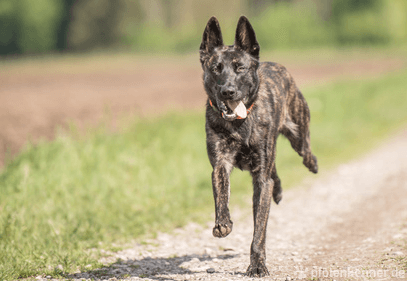Deutscher schaferhund wolfsgrau