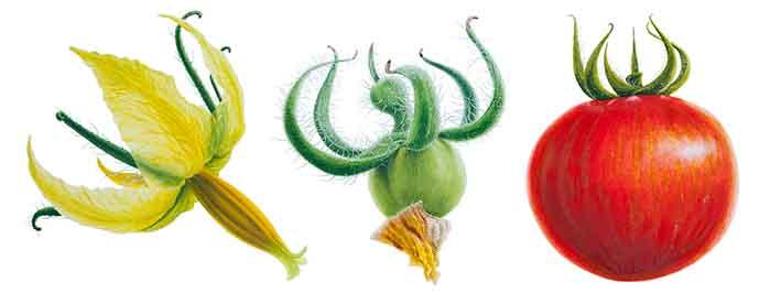 Tomato Flower To Fruit Series
