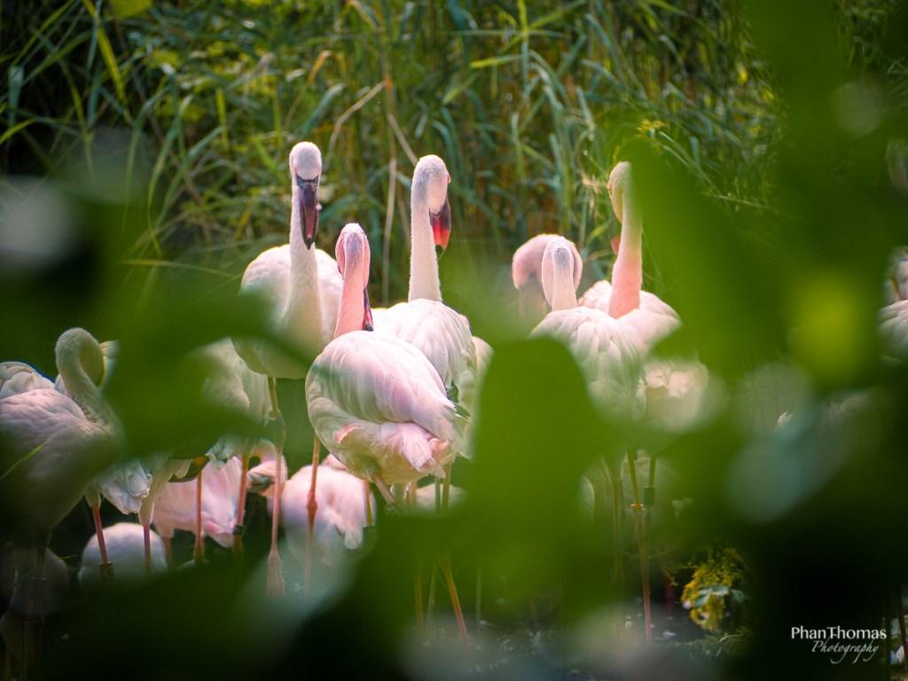 Leizpiger Zoo: Flamingos