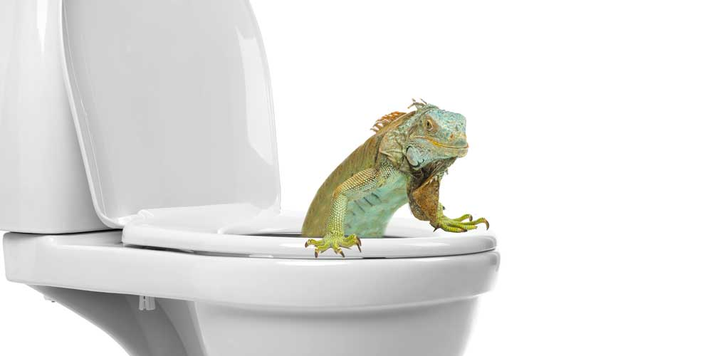 Iguana Expert Weighs In on Rash of Toilet Invasions