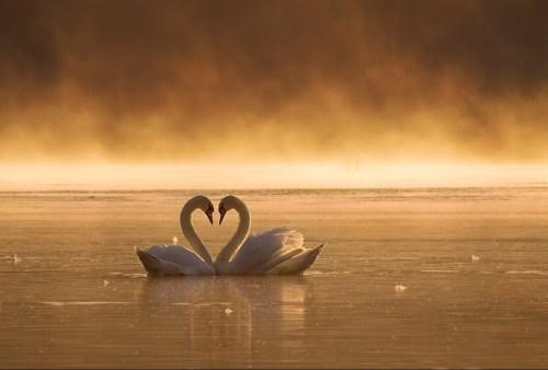 swan-lovers