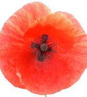 Poppy, coquelicot
