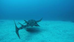 Requin-ange