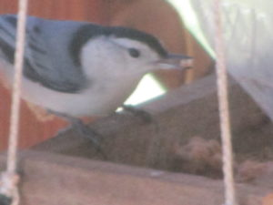 Nuthatch/a frequent visitor