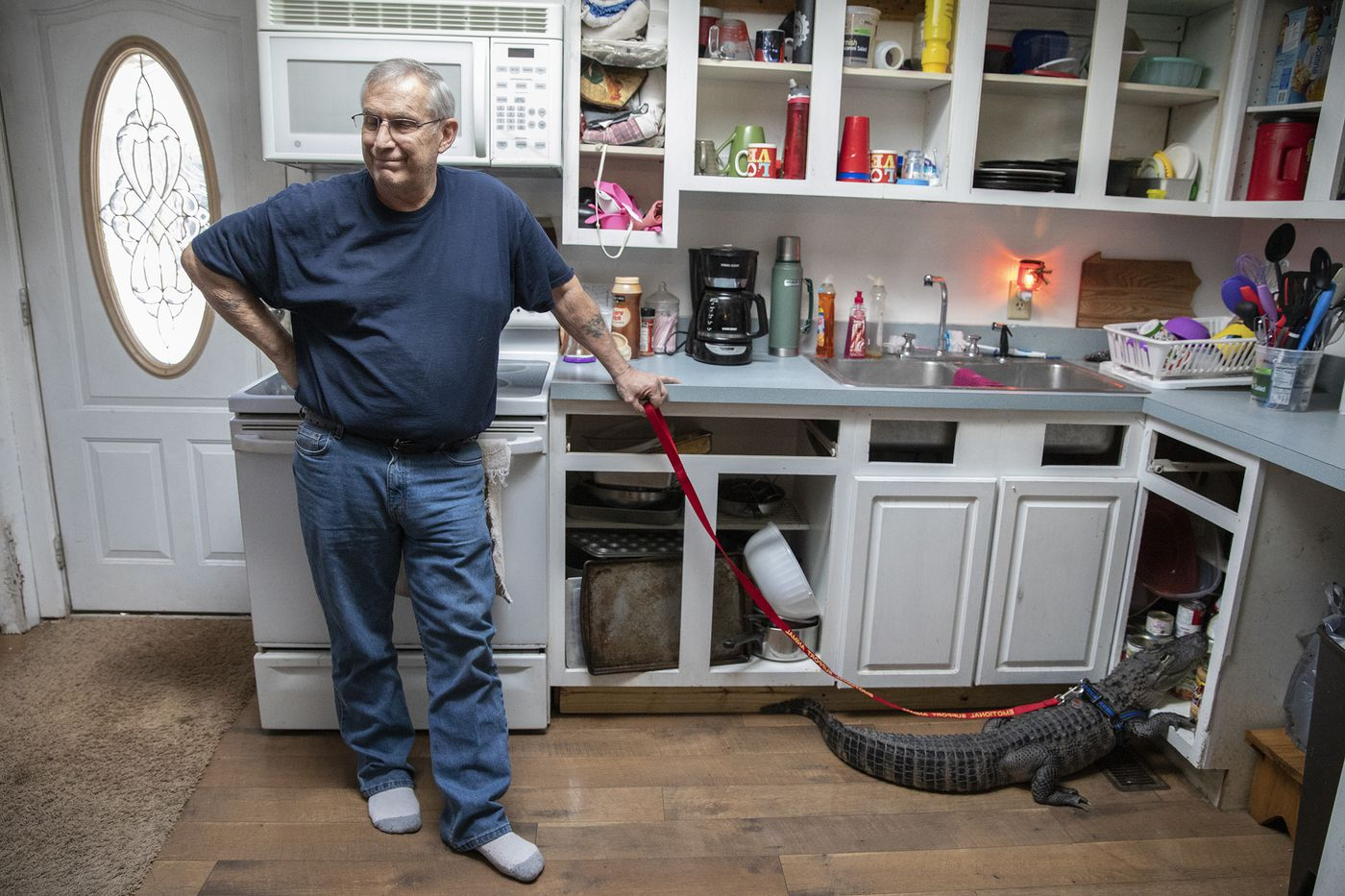 Joie Henney's emotional support alligator, Wally, rummages through the pantry inside his York County home.