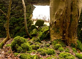 A hole in a dry-stone wall caused by tree growth