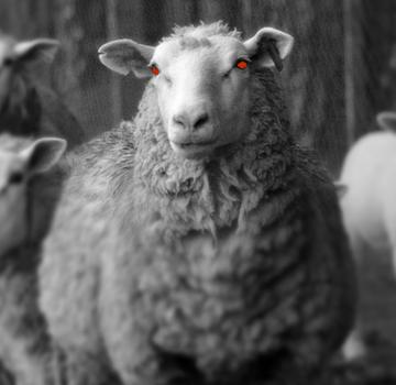 The Angry Sheep