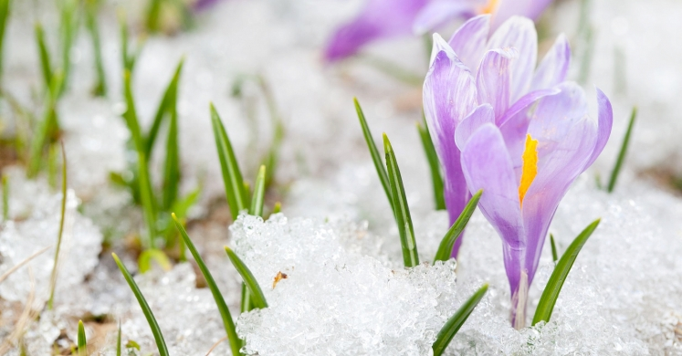Image result for crocus in snow
