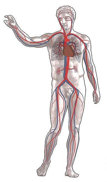 phlébologue les artères