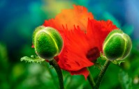 Fantasy – green and red poppy pareidolia creature