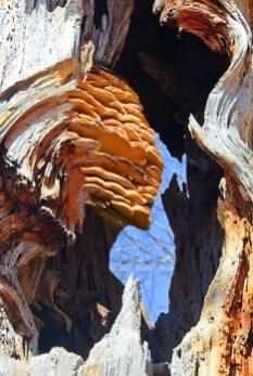 Fantasy – tree fungus pareidolia sphinx head in gnarled trunk