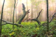Natural – Broken trees in the fog of a soggy forest