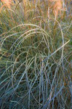 Natural – curly fronds of ornamental grass