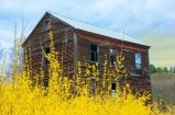 Man-Made – yellow forsythia flowers and weathered old barn