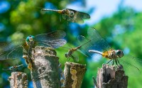 Life – dragonflies fly and perch with toothy insect grins