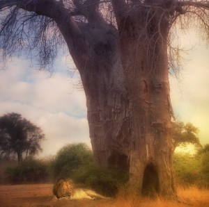 """Under the Boabab Tree"" by artist, Carol Howard, Photography"